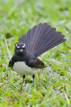 Willy Wagtail (Rhipidura leucophrys) is a passerine bird native to Australia, New Guinea, the Solomon Islands, the Bismarck Archipelago, and Eastern Indonesia. Its common name is derived from its habit of wagging its tail horizontally when foraging on the ground.