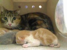 SUPER URGENT!!! HIGH KILL SHELTER!!! MORENO VALLEY, CA *** MOM AND NEWBORNS ***  #A447129 Female, tortie & brown tabby Domestic Shorthair mix.2 years.We have been at the shelter since Mar 24, 2015 & I may be available for adoption on Mar 31, 2015 https://www.facebook.com/135559229932205/photos/ms.c.eJwtycENADEIA7CNToGQEvZfrFWvT8uliFDD7CXVV78djbHxbArFhK8N4jwrr5OTijUtcgN87g~;q.bps.a.183449741809820.1073741836.135559229932205/451115781709880/?type=1&theater