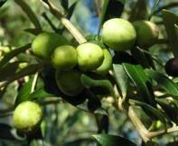 Arbequina Olive