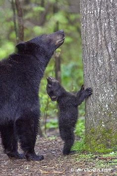 """How about this tree, Mom?  Does this look like a good one to climb?""  .......  (Black Bears)"