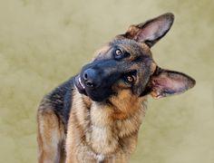 The German Shepherd head tilt. Love, Love, Love this pose.