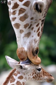 Who says it's not a baby kiss/ Wouldn't it be great to have a giraffe to kiss your guest when they first arrive at the party? Kidding..I just love the picture.