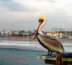 """""""Perched Pelican"""" Available now at TCore Photography on Etsy! (ALL RIGHTS RESERVED)  #beach #bird #pelican #red #yellow #waves #pier #boardwalk #clouds #california #oceanside #socal"""