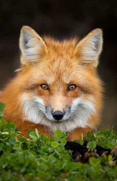 """Photo by Brittany Crossman A beautiful red fox vixen, Edward … geographicwild:"""".Photo by Brittany Crossman A beautiful red fox vixen, Edward Island, Canada. Cute Baby Animals, Funny Animals, Wild Animals, Giant Animals, Fuchs Baby, Fennec, Wolf Hybrid, Fox Totem, Fox Images"""