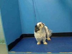 JASPER is an adoptable Shih Tzu Dog in New York, NY.  ...