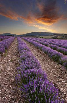 Lavender Fields, Provence
