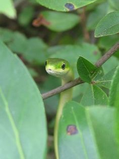 Rough Green Snake by vallencrawford, via Flickr