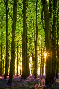 Bluebell Wood Sunset- UK   | Flickr - Photo Sharing!