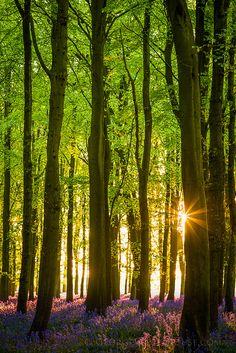 Bluebell Wood Sunset- UK   | Flickr - Photo Sharing!