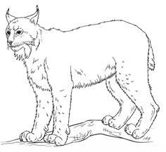 Learn How To Draw A Bobcat Wild Animals Step By Step