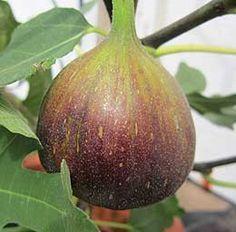 Feigen überwintern | Exotische Pflanzen - Pflege, Schnitt, Vermehrung