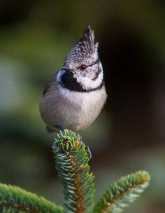 European crested tits are resident breeders in the coniferous forests of central and N Europe, as well as the deciduous woodlands of France and the Iberian Peninsula. (Geir Jensen)