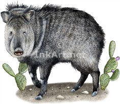 Full color illustration of a Collared Peccary or Javalina