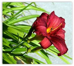 """Cranberry Colored Lily"" Artist Kay Novy.  To view or to purchase please visit here...  http://fineartamerica.com/profiles/kay-novy.html"