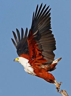 African Fish Eagle Haliaeetus vocifer Visarend - via Chris Krog