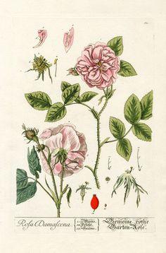 Elizabeth Blackwell Herbarium by Jacob Trew 1757 - Damasc Rose