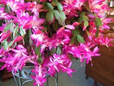 DIY Network showcases how to get a holiday cactus to bloom, including tips for Thanksgiving cactus and Christmas cactus. Christmas Cactus Care, Modern Christmas Ornaments, Cactus Leaves, Cactus Flower, Cactus Decor, Cactus Plants, Cacti, Love Flowers, Colorful Flowers