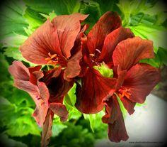 Great Geranium -