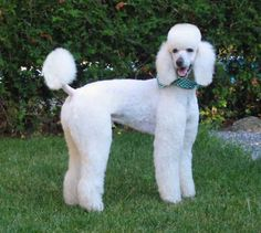 Poodle   The Poodle can accommodate nearly any size living quarters. His hypoallergenic coat may reduce allergic reactions, but requires regular professional grooming. The Poodle is an active breed and requires daily exercise.