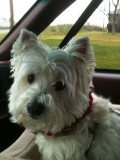 West Highland White Terrier - really great dogs - no shedding - no body odor and super smart