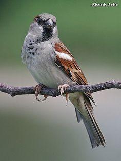 Foto pardal (Passer domesticus) por Ricardo Leite | Wiki Aves - A Enciclopédia das Aves do Brasil