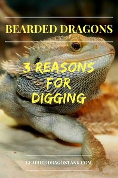 is your bearded dragon digging all the time? You should be alerted! Read here what the reasons for obsessive digging behavior are. Bearded Dragon Terrarium, Bearded Dragon Diet, Pet Lizards, Reptiles, Amphibians, Bearded Dragon Substrate, Bearded Dragon Lighting, Dragon Facts, Fat Tailed Gecko