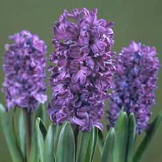 purple hyacinth bulbs, the best smelling bulb there is..