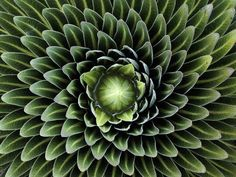 """The Golden Ratio and Secret Geometry in Nature """"These wonderfully symmetrical plants show the fractal nature of math, physics and the universe. Could this be evidence of sacred geometry? """"Look deep. Fractals In Nature, Spirals In Nature, Nature Plants, Green Nature, Nature Nature, Science Nature, Patterns In Nature, Flower Patterns, Beautiful Patterns"""