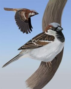 House Sparrow - Whatbird.com