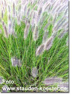 Staudenfoto zu Pennisetum alopecuroides 'Compressum' (Australisches Federborstengras)
