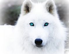 pictures of black wolves with blue eyes | Arctic-Wolf-wolves-6002944-480-379.jpg #wolfpictures