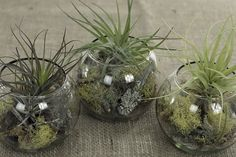 I like the idea of air plants in glass bowls or bubbles. What a neat way to green up a space.