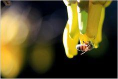 Sophora microphylla bee pollination by Tonyfoster, via Flickr