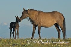 Cloud's mare Aztec and their newborn daughter, Breeze (aka Dad's little princess), just hours old