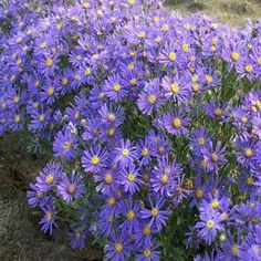 Plant Type: Perennial Height: Spread: Growth Habit: Mounded Sun Exposure: Full sun Bloom Time: August to Oct. Flowers Perennials, Planting Flowers, Flowering Plants, Monarch Butterfly Habitat, Lawn And Landscape, Landscape Design, Aster Flower, Landscape Maintenance, Petal Pushers