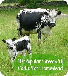 10 Popular Breeds Of Cattle For Raising On Homestead.