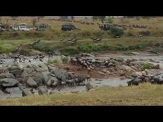 Wildebeests crossing a river in search for more green pastures in Serengeti national park Serengeti National Park, National Parks, River, Mountains, Nature, Rivers, Nature Illustration, Off Grid, Mother Nature