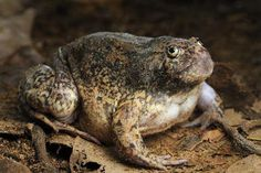 Grumpy Cat has nothing on Glyphoglossus molossus, a burrowing frog from SE Asia!  Photographer: J Holden