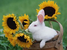 New Zealand Rabbit in Basket with Sunflowers, USA