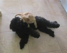 Molly and Honey Bee Australian Labradoodle Puppies, Bee, Honey, Animals, Honey Bees, Animaux, Bees, Animal, Animales