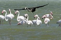 Celebrate your difference - extremely rare black flamingo spotted in Cyprus - AOL.com
