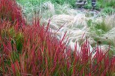 """Résultat de recherche d'images pour """"japanese blood grass"""""""