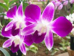 Dendrobium Aquarius Flower.