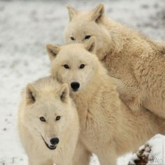Wolves with beautiful white coats