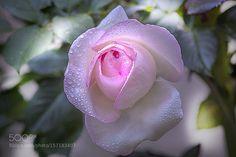 rose by volodymyrshram. @go4fotos