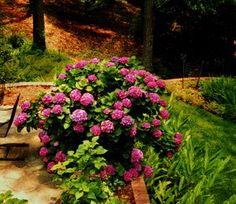 Great site for basics on hydrangeas--when and where to plant, how to plant, how to transport, etc