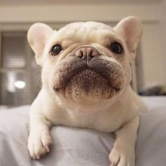 French Bulldog, what a Face! ; )