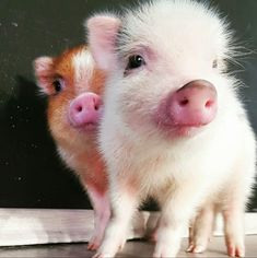 Friends who want to have a pet can consider raising a pet pig - Page 22 of 29 - Gloria Love Pets Cute Baby Pigs, Cute Piglets, Micro Piglets, Cute Little Animals, Cute Funny Animals, Teacup Pigs, Funny Pigs, Mini Pigs, Pet Pigs