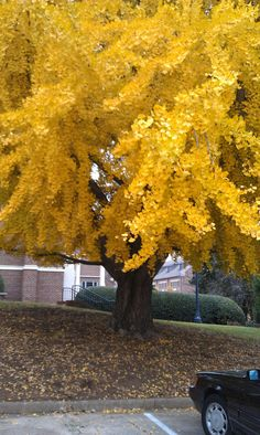 Ginko tree beauty......I want to plant this in my backyard!!