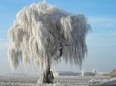 frost on willow